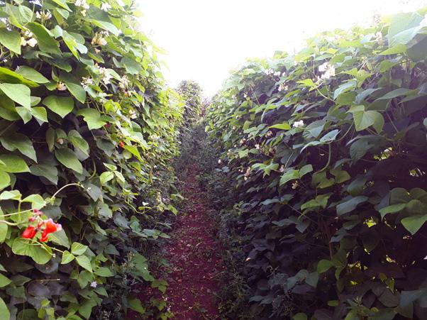 The Runner beans Garden Summer 18